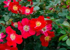 Shrub rose - Rosa rubiginosa