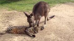 Kangaroo grooms his cat pal
