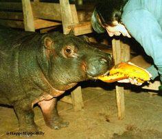 How cute was I? Mom giving me some papaya. #tbt  #HappyAlert via @HappyHippoBilly