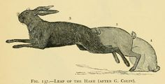 Artistic Anatomy of Animals by Édouard, B. Cuyer 1852