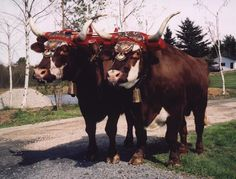 Oxen all decked out.