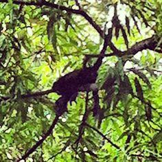 Los monos aulladores de El Timbucaso