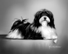 Breeds of small dogs : best small dog breeds: Havanese Breed Standard