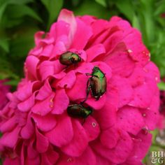 Beetles Secret Garden Besouros Jardim Secreto Johanna Basford