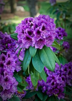 Beautiful Rhododendrons!