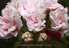 Pelargonium - Pelargonie - Pelargoner Millfield Rose