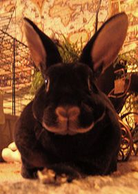 A dark brown mini-rex rabbit.o how I miss my Jake Bunny! The BEST bunny EVER! Rest in peace my little friend! Mini Rex Rabbit, Jack Rabbit, Cute Bunny, Bunny Bunny, Bunny Rabbits, Bunny Hunter, Chocolate Bunny, Chocolate Brown, Pet Dogs