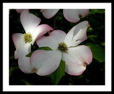 Tranquility Framed Print featuring the photograph Pink Dogwood by Janis Kirstein