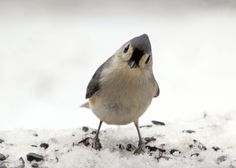 tufted titmouse.  Hello there.