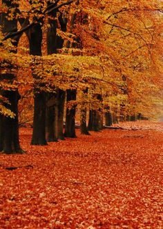Beautiful Autumn trees → For more, please visit me at: www.facebook.com/jolly.ollie.77