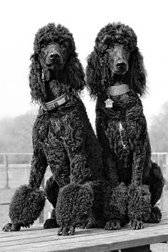 *Hello boys!*    Two 'standard poodle' sisters ~ Photographer ~Paws & Claws~ 