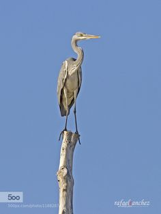 Garza real - Grey heron by Rafael_Sanchez_Sanchez. Please Like http://fb.me/go4photos and Follow @go4fotos Thank You. :-)