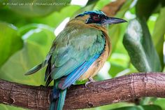 motmot bird pics | Recent Photos The Commons Getty Collection Galleries World Map App ...