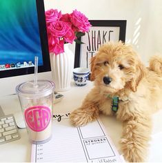 Dream Office|Mini GoldenDoodle