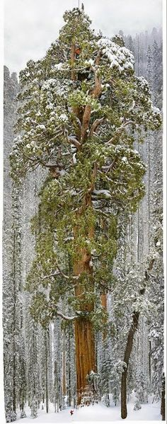 The President, Sequoia National Park USA