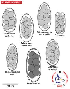 Image result for haemonchus contortus egg