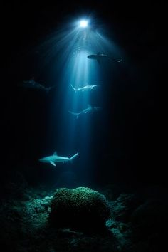 Four sharks, at various levels, swimming through the deep black waters above the ocean floor. Photo-captured in the wide blue beam of light from the surface. RESEARCH #DdO:) MOST POPULAR RE-PINS - http://www.pinterest.com/DianaDeeOsborne/underwater-glory/ - UNDERWATER GLORY. Marine Science studies vary on how deep sharks don't go. Scientists don't know why sharks don't go deep like cod. Great whites can swim 56 km/h / 35 mph & dive down to ~900 m / 3,000 feet.
