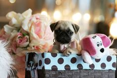 ♥♥♥ Mini Pug! ♥♥♥ Bring This Perfect Baby Home Today! Call 954-353-7864 www.TeacupPuppies... ♥ ♥ ♥ TeacupPuppiesStore - Teacup Puppies Store Tea Cup