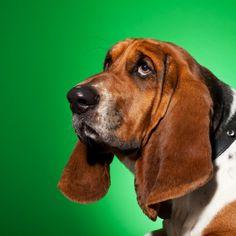 Basset Hound Dog Breed Information and Facts #bloodhound puppies