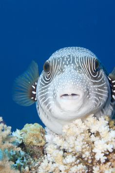 puffer fish by samui13coconut13 on Flickr.
