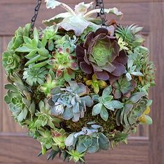 a Hanging Succulent Ball That Will Turn Heads This colorful succulent hanging is a modern twist on a hanging basket.This colorful succulent hanging is a modern twist on a hanging basket. Colorful Succulents, Hanging Succulents, Succulents Garden, Hanging Plants, Succulent Landscaping, Front Yard Landscaping, Landscaping Ideas, Orchid Planters, Fall Planters
