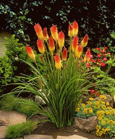 Red Hot Pokers (also known as Torch Lilies or Tritomas, Kniphofia uvaria)