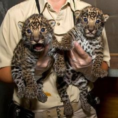 New born Jaguar Cubs at the San Diego Zoo. I can't wait to see them!