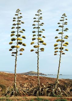 Agave americana, also known as Century Plant or American Aloe, is a common landscape plant despite the fact that it is semelparous, meaning it flowers once and then dies, living for only years