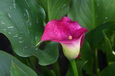 Pestovanie kaly: Prečo jej vädnú listy? - Pluska.sk Gardening, Vegetables, Rose, Plants, Flowers, Water, Lawn And Garden, Pink, Vegetable Recipes