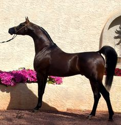Sire: Versace (Fame VF x Precious As Gold by *El Shaklan) Dame: out of the Padrons Psyche daughter DA Love (x Magnifficaa FA by Echo Magnifficoo) Black Arabian Horse, Egyptian Arabian Horses, Beautiful Arabian Horses, Majestic Horse, Horses And Dogs, Show Horses, Animals And Pets, Arabic Horse, Arabian Stallions