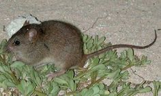 The Bramble Cay melomys has become extinct, Australian scientists say.  The first extinction directly attributed to man-made climate change.