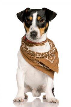 Jack Russell Terrier, 18 months old, wearing bandana in front of white background - stock photo Jack Russell Terriers, Jack Russell Mix, Jack Russell Puppies, Parson Russell Terrier, Rat Terriers, Terrier Dogs, Jack Terrier, Pet Dogs, Dog Cat