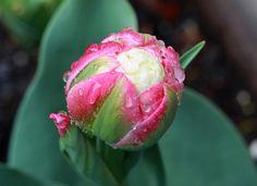 Ice Cream Tulip by TaniaGail, via Flickr