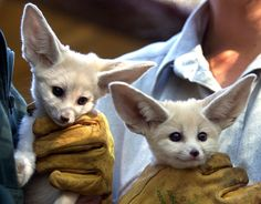 They're not reds, but who can say no to those adorable ears?
