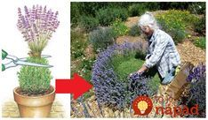 Levanduľa môže byť ozdobou aj vašej záhrady. Táto užitočná rastlina nielen krásne vonia, ale pôsobí ako prirodzený prírodný repelnt, ochráni pôrodu pred inváziou slimákov a iných škodcov a navyše – vyzerá krásne a tiež úžasne Lavender Flowers, Purple Flowers, Evergreen Shrubs, Ikebana, Garden Inspiration, Garden Plants, Bonsai, Planting Flowers, Flower Arrangements