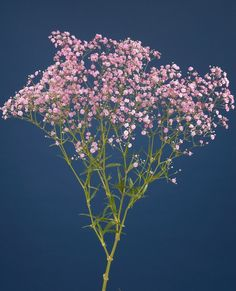 did you know baby's breath is available in pink?