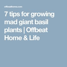 7 tips for growing mad giant basil plants   Offbeat Home & Life