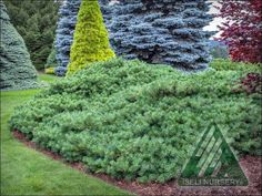 The Amazing World of Conifers Evergreen Landscape, Evergreen Garden, Portfolio Images, The Far Side, Creepers, Dream Garden, East Coast, Stepping Stones, Landscape Design