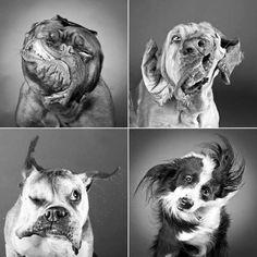 Fotos de cães no momento em que estavam se sacudindo  após o banho para se secar.  Muito engraçado!!!   É tão rápido que a olho nu a gente não vê essas expressões, somente com uma boa câmera profissional.