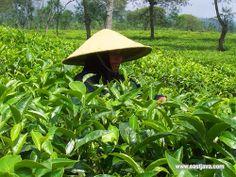 Wonosari Tea Plantation - Malang - East Java by eastjava.com, via Flickr