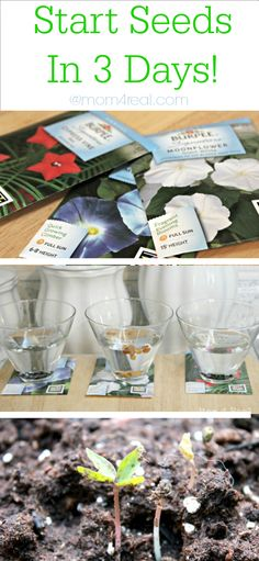 Gardening Tip - Start Seeds in 3 Days at Mom 4 Real @Jess Pearl Pearl Liu Kielman {Mom 4 Real}
