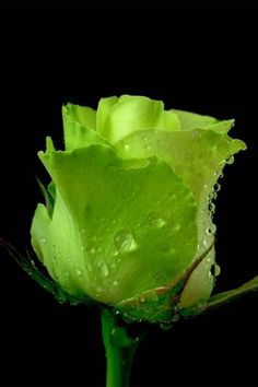 A chartreuse rose for all of my followers and all that I follow. TG