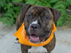 ~~HANDSOME SOCIABLE 4 YR OLD BOY TO BE DESTROYED - 08/03/14~~ Brooklyn Center -P  My name is DUSTY. My Animal ID # is A1007861. I am a male bl brindle and white pit bull mix. The shelter thinks I am about 1 YEAR 1 MONTH old.  I came in the shelter as a SEIZED on 07/24/2014 from NY 11213, owner surrender reason stated was OWN ARREST. I came in with Group/Litter #K14-187173.