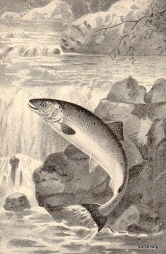 1896 Leaping Salmon