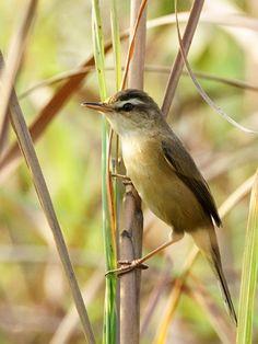 Manchurian Reed-Warbler (Acrocephalus tangorum)