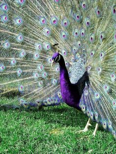 "Some-kinda Peacock (whatcha macallit) ~ Miks' Pics ""Fowl Feathered Friends V"" board @ http://www.pinterest.com/msmgish/fowl-feathered-friends-v/"