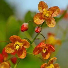 Elfenblume Orange Queen - Beetstauden