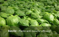 Plante anti mouche, basilic