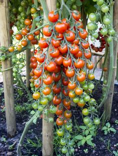 Hängende Tomaten