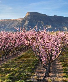 Palisade, Colorado peach blooms with Mt. Garfield in the background   Palisade peaches are soooo good